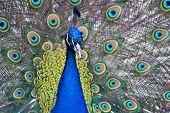 Beautiful Male Peacock Displaying
