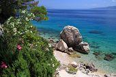 Dalmatia Adriatic Coast With Oleander Flowers. Croatia Coast Landscape. Beaches And Coast Of Mimice. poster