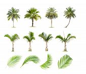 Coconut And Palm Trees, Palm Leaf Isolated Tree On White Background , The Collection Of Trees.large  poster