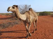foto of camel-cart  - This camel was hobbled to prevent him walking to far at night - JPG