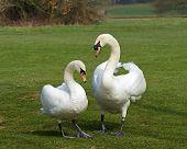 Mute Swans Mated Pair