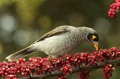 Myna aves plagas