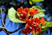 foto of geiger  - A close up view Cordia sebestena flowers - JPG