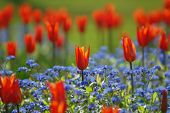 Field Of Tulips And Forget-Me-Not Flowers