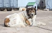 bejahrt caucasian Shepherd Wachhund