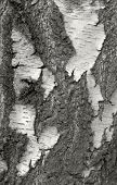 Cracked Rough Bark Detail