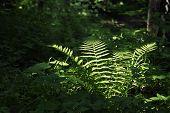 Fern In A Dark Forest