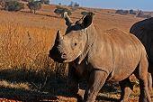 B Rhino2