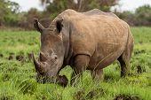 White Rhinoceros Or Square-lipped Rhinoceros, Ceratotherium Simum, South Africa poster