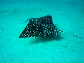 Spotted Stingray