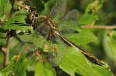 Downy Emerald Dragonfly