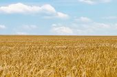 Wheat Field. Ears Of Golden Wheat Close Up. Background Of Ripening Ears Of Meadow Wheat Field poster