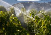 Vineyard Irrigation Okanagan Valley Bc. A Vineyard Gets Irrigated At Dusk In The Okanagan Valley, Br poster