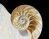 Chambered Nautilus Closeup