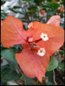 Image Of Jasmine Flower In Bloom. Summer Jasmine Flowers In Indonesia. Orange Jasmine Flower. The Lo poster
