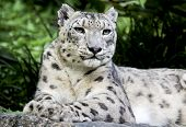 foto of snow-leopard  - This is a photograph of a snow leopard laying down. ** Note: Slight graininess, best at smaller sizes - JPG