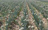 Campo de cebolla