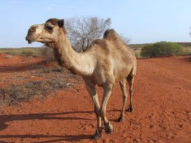 image of camel-cart  - This camel was hobbled to prevent him walking to far at night - JPG