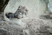 picture of snow-leopard  - Snow leopard cub from Z - JPG