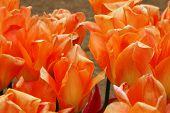 Orange Emperor