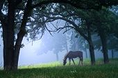 image of white horse  - Sunlight shining through the woods in the morning fog onto a beautiful horse grazing - JPG