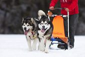 stock photo of sled  - sled dog race siberian huskies - JPG