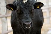 Curious Bull