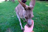 Kangaroo Eats From Hand