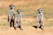 Erdmännchen-Babys