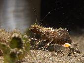 Marbled shrimp (Saron sp.)