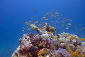 colorful coral reef with exotic fishes anthias on the bottom of tropical sea