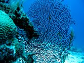 Coral reef with gorgonian also known as sea whip or sea fan on the bottom of tropical sea