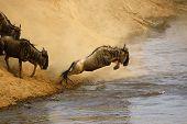 Wildebeest Jumping