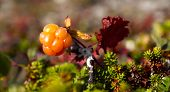 Rubus chamaemorus, cloudberry and bakeapple in HDR-toning.
