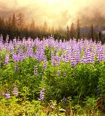 Blumenwiese in Alaska