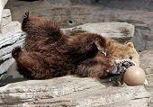 Grizzly Bear Having Fun