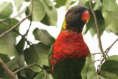 stock photo of polly  - colorful lone parrot staring out from the trees - JPG