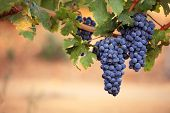 Large bunches of ripe black grapes on vine