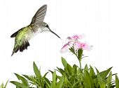 pic of carnations  - Hummingbird tail wide - JPG
