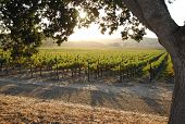 image of stud  - A summer evening in the oak studded vineyard - JPG