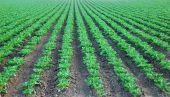 Collard Green Cultivated Field