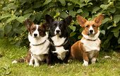 three Welsh Corgi Pembroke dogs  sitting on the grass