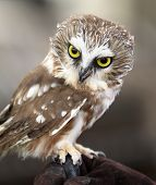 foto of acadian  - Vertical Portrait of Northern Saw-Whet Owl, Front View