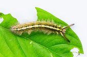 Roseapple Caterpillar