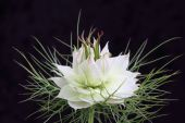 White Nigella Bloom