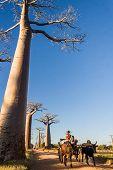 Zebu Cart And Baobabs