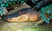 Retrato de crocodilo