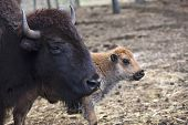 Bison Adult And Calf.