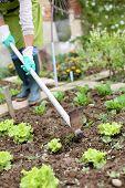 Woman gardening lettuce in kitchen garden