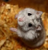 Begging hamster